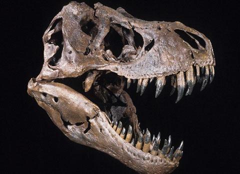 crâne de t-rex musée