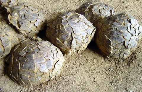 fossiles oeufs de dinosaure